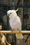 Cockatoo crêté de soufre Image stock