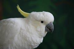 Cockatoo crêté de soufre Photographie stock libre de droits