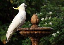 Cockatoo crestato dello zolfo Immagini Stock
