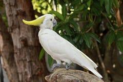 Cockatoo crestato dello zolfo nella foresta pluviale Fotografia Stock Libera da Diritti