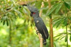 Cockatoo da palma imagens de stock