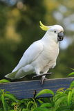 Cockatoo dancing on fence Royalty Free Stock Photo