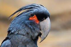 Cockatoo de la palma Fotografía de archivo libre de regalías
