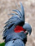 Cockatoo de la palma Foto de archivo libre de regalías