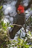 Cockatoo del Gruppo-gruppo (fimbriatum di Callocephalon) Immagine Stock