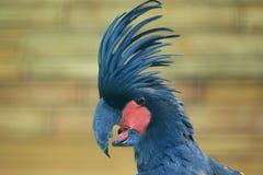 Cockatoo della palma Immagini Stock