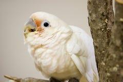 Cockatoo di Goffin Immagine Stock Libera da Diritti
