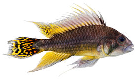 Cockatoo Dwarf Cichlid fish Stock Images