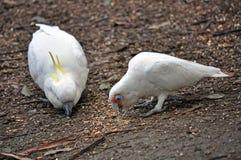 Cockatoo e Corella Enxôfre-Com crista Imagem de Stock