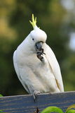 Cockatoo eating on fence Stock Image