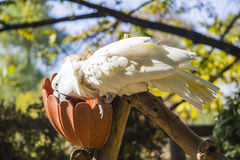 Cockatoo eating Stock Images