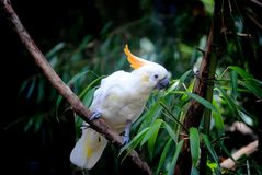 Cockatoo. A cockatoo eating on the tree leaves Stock Image