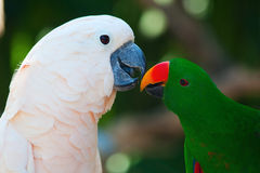 Cockatoo and eclectus parrot Stock Photos