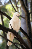 Cockatoo en un árbol -5 Foto de archivo libre de regalías