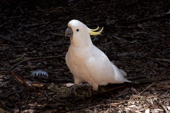 Cockatoo en una tierra Fotos de archivo