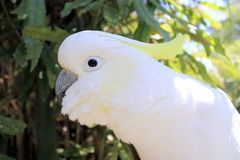 Cockatoo Enxôfre-com crista (galerita do Cacatua) Foto de Stock Royalty Free