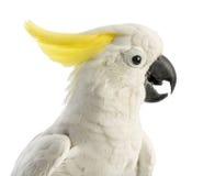 Cockatoo Enxofre-com crista, galerita do Cacatua, 30 anos velho fotografia de stock