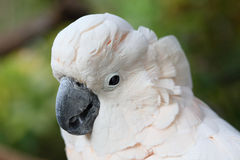 Cockatoo face Stock Images