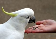 Cockatoo feeding. Sulphur-crested cockatoo feeding on seeds from hand Stock Photography