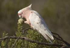 Cockatoo feeding Royalty Free Stock Photography