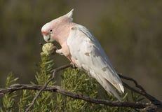 Cockatoo feeding Royalty Free Stock Photography