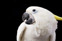 Cockatoo Giallo-crestato Immagine Stock