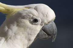 Cockatoo head Royalty Free Stock Photography
