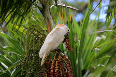 Free Cockatoo In A Palm Tree Royalty Free Stock Photo - 79608895