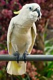 Cockatoo Royalty Free Stock Photo