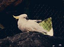 Cockatoo Jaune-crêté photo stock