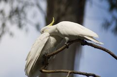 Cockatoo Love. Two cockatoos caring for one another royalty free stock image
