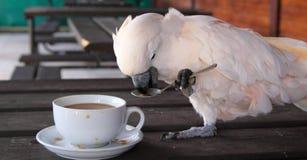 Cockatoo mit einem Tasse Kaffee Stockfoto