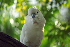 Cockatoo moluquois Photos libres de droits
