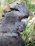 Cockatoo munito rosso Immagine Stock Libera da Diritti