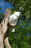 Cockatoo Nashville Zoo 2. Cockatoo on a branch in the Nashville Zoo Royalty Free Stock Photos