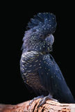 Cockatoo negro Fotos de archivo