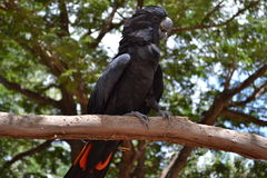 Cockatoo negro Imagenes de archivo