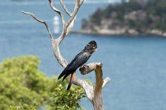Cockatoo negro atado rojo Foto de archivo