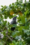 Cockatoo negro australiano Imagen de archivo