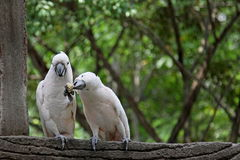 Cockatoo nell'amore Fotografia Stock