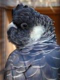 cockatoo nero munito bianco Fotografia Stock Libera da Diritti