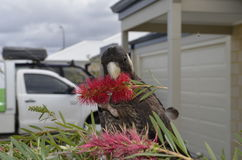 Cockatoo noir Image libre de droits