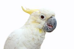 Cockatoo over white. A sulphur crested cockatoo isolated on white Royalty Free Stock Photo
