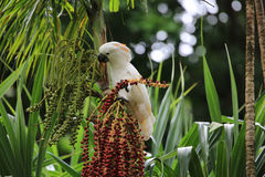 Cockatoo in a Palm Tree. Wild Crested Cockatoo is holding MacArthur palm branch and eating fruit Royalty Free Stock Photo