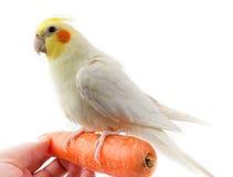 Cockatoo-Papagei stockbild