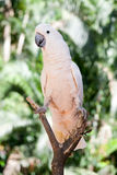 Cockatoo in the park. The white bird perched on a tree Royalty Free Stock Images