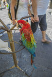 Cockatoo and parrot in the old town of rhodes Royalty Free Stock Image