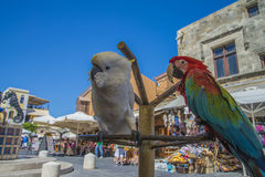 Cockatoo and parrot in the old town of rhodes Stock Photos
