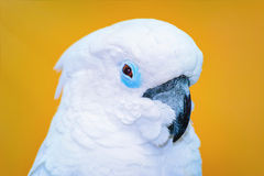 The Cockatoo Parrot Stock Images