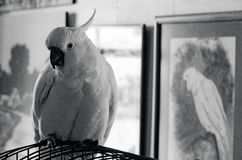 Cockatoo parrot Royalty Free Stock Photos